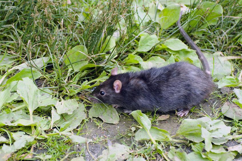 Elektromos patkányriasztó